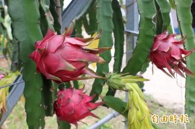 義美宣布以每公斤175元 收購國產火龍果花苞