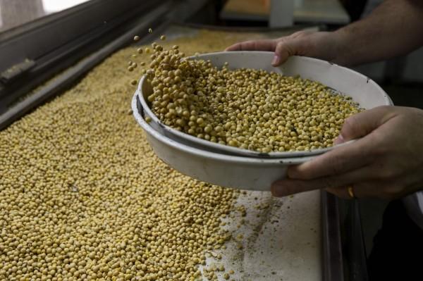 頂不住了?中國國企業買進 美國大豆進入大連港了!