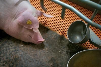 中國非洲豬瘟失控 華東地區5天爆發5起疫情