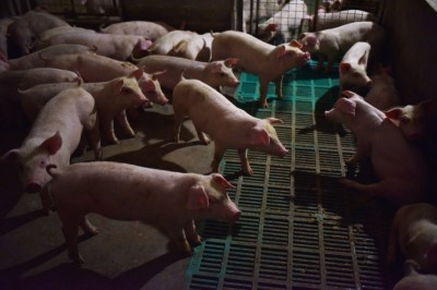 防範非洲豬瘟 加拿大宣佈禁止進口所有中國豬肉產品