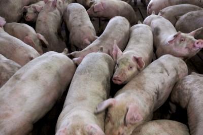 中國畜牧業協會:非洲豬瘟成國家危機