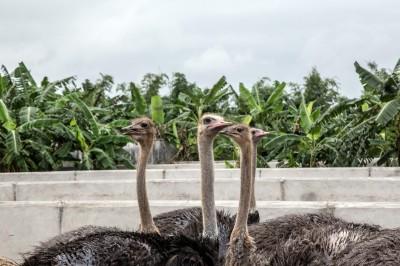 非洲豬瘟襲越南!鴕鳥肉成替代品 價格比豬肉高3倍!