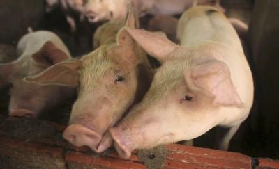 中國豬瘟疫情煞不住 嘉吉:恐10年才可復甦