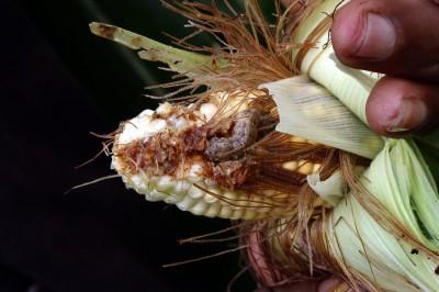 秋行軍蟲已蔓延亞洲10國 最嚴重恐20%作物消失