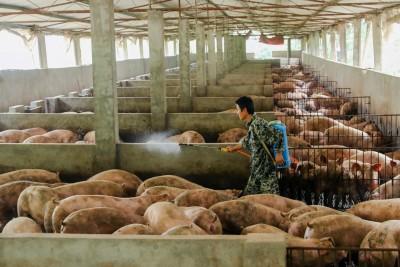 非洲豬瘟肆狂虐!中糧集團生豬業務半年大虧19億