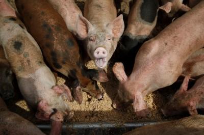 中國表態買美農產 新華社:採購美豬大豆將排除關稅