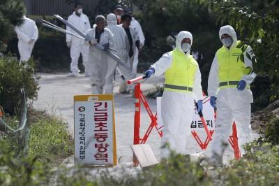 已經失控?南韓又爆3起非洲豬瘟疑似病例