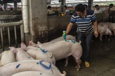 分析師:中國豬隻數量1年來已腰斬 慘況恐持續數年