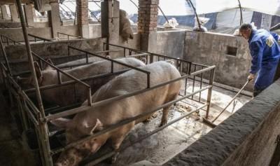非洲豬瘟疫情高燒不退   重創中國共產黨領導威信