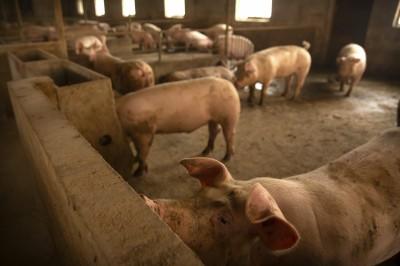 亂用假疫苗 中國非洲豬瘟疫情火上加油