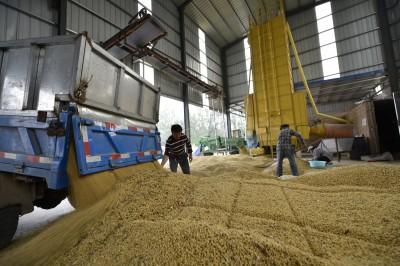 下單了!貿易協議達成後 傳中國已開買美國大豆