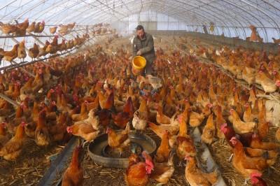 武漢肺炎》湖北封城家禽也斷糧 3億隻雞恐餓死