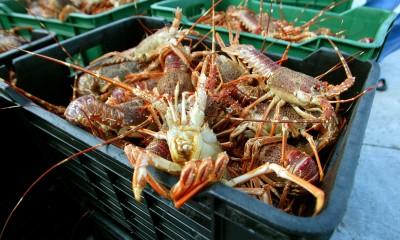 武漢肺炎》南非龍蝦漁夫受害!2月價格暴跌生計陷入困境