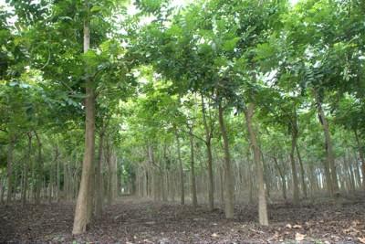 屏東農電共生挨批砍樹  台糖:是經濟林回歸農用