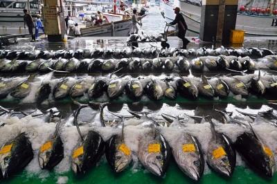 黃鰭鮪拍賣價腰斬 農委會祭收購政策、掛保證「魚價不會賠」