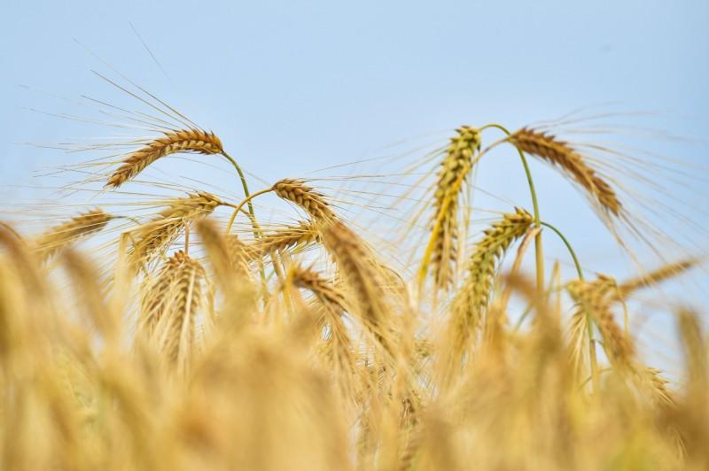 中國對澳洲首波制裁 擬徵收大麥進口關稅