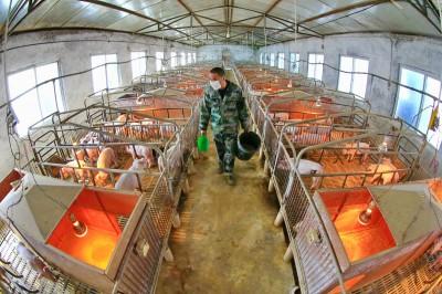 有豬吃大於環境好!中國走回老路 祭「豬圈包圍城市」