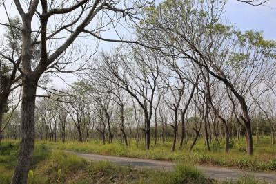 回應「砍樹種電」台糖:僅局部造林農地回歸農用 非一夕砍光