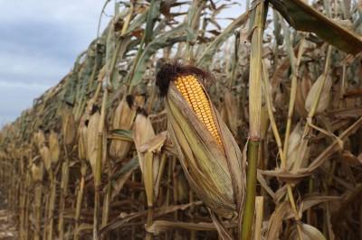 仍想達成協議? 中國今年進口美國玉米  將創25年來新高
