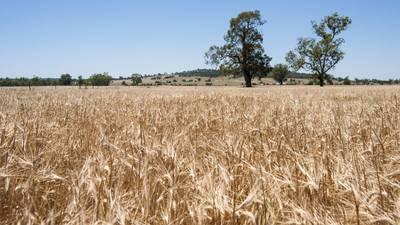中、澳交惡  阿根廷趁機填補中國大麥缺口