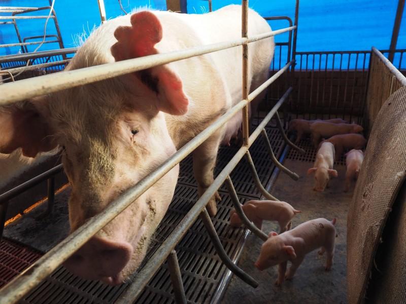 中國豬瘟疫情擴散 全球豆農剉咧等