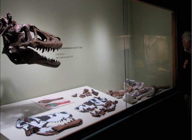 6千萬年暴龍寶寶化石eBay現蹤!1具要價.....