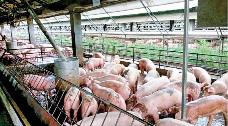 〈財經週報-財經焦點〉非洲豬瘟衝擊 台糖越南廠減產5成