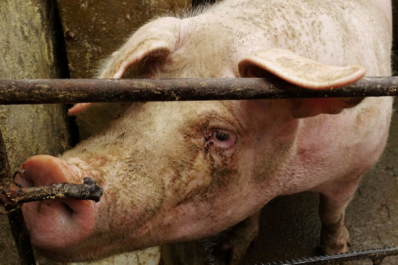 日本恐失守!日機場1年逾77件產品含非洲豬瘟