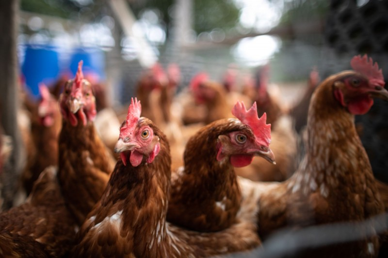 中國善意頻出!正研究解除美禽肉進口禁令