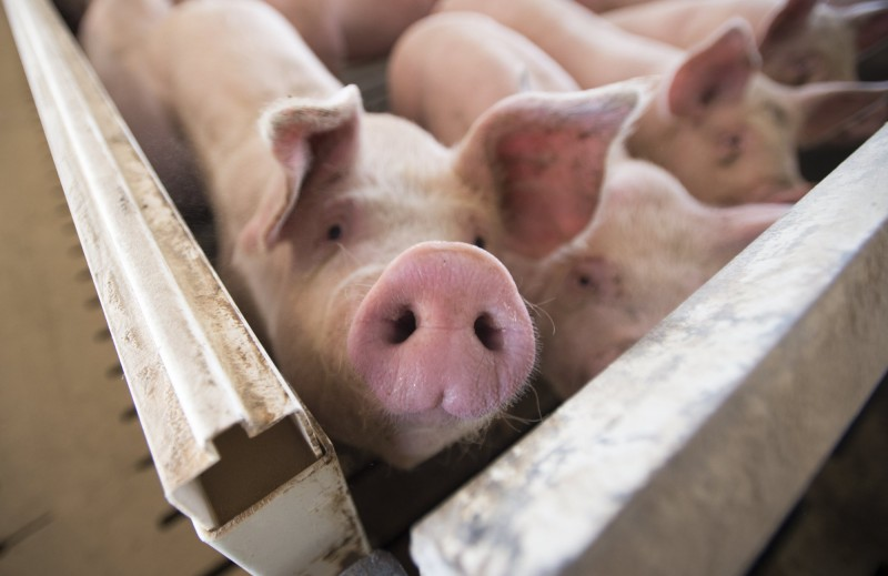 美國豬價就是不漲 投資人耐不住紛紛退場