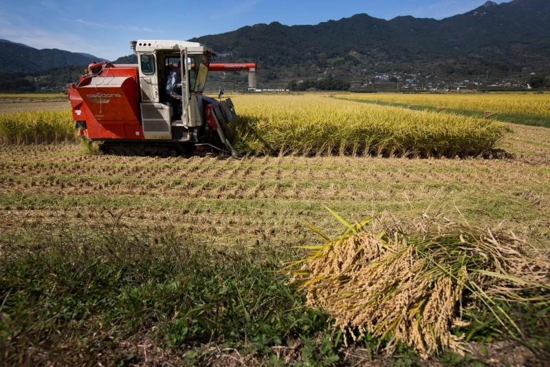 創39年新低!南韓大米產量連3年跌破400萬噸