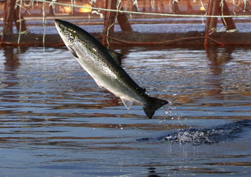 鮭魚產量佔全球一半 美國加入歐盟反壟斷調查挪威