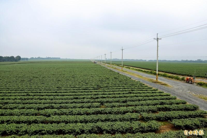 台灣最大茶園在這裡!智慧茶園年產量將可逾3千噸