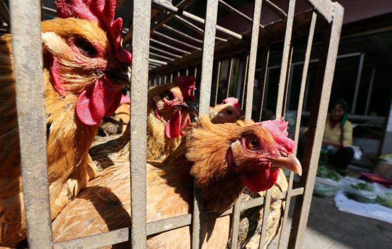 武漢肺炎》中國祭封城、交管 恐致上百萬隻雞餓死