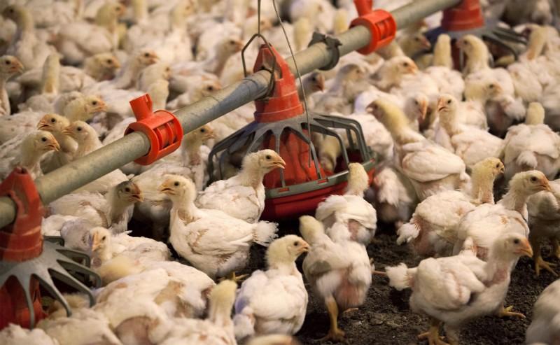 中國撐不住了!宣布進口美國所有禽類產品