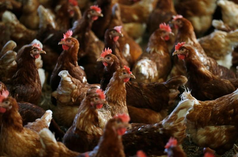 武漢肺炎》印度網傳雞會散播病毒  家禽業3週痛失近55億