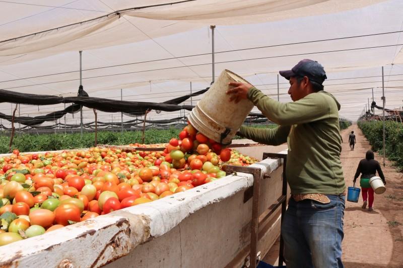 武漢肺炎》墨西哥主力農產難銷 番茄只能免費送出