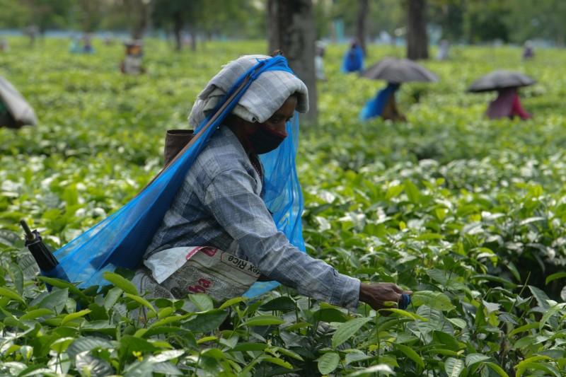 疫情影響全球茶葉產量下降 茶葉價格上漲