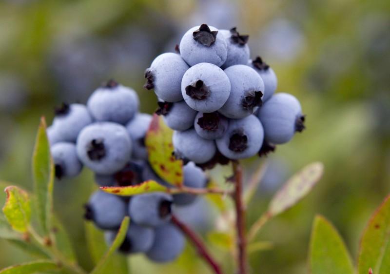 再釋善意?中國開放進口美國藍莓、大麥