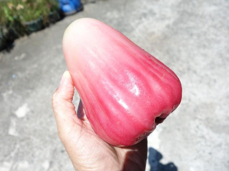 高雄區農改場推出新品種「水蜜桃蓮霧」 香甜大又多汁