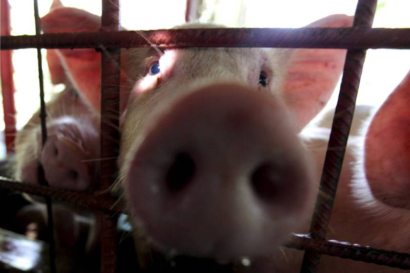 日本群馬縣一養豬場爆豬瘟 近5400頭豬將遭撲殺