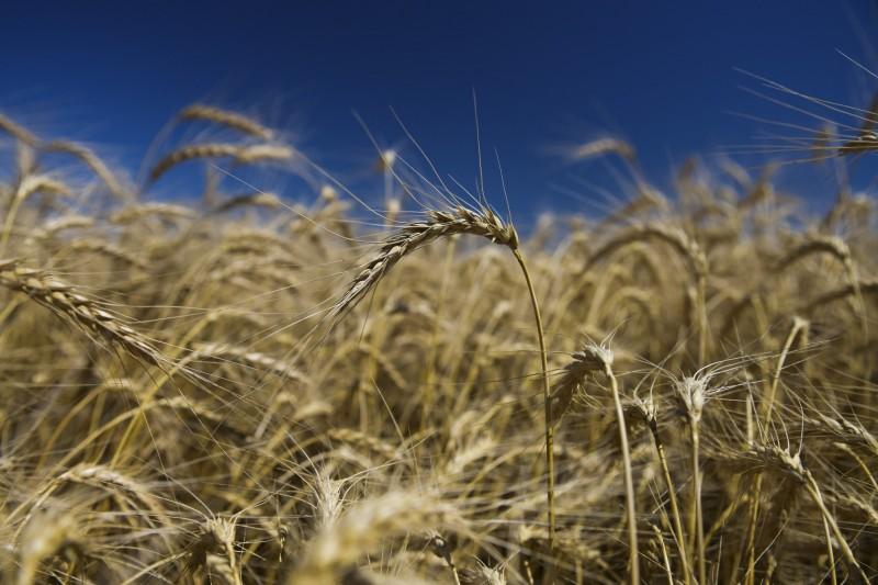 台灣業者出手!向美國購買180萬噸小麥