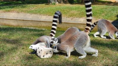 動物過新年...狐猴大玩戳戳樂、擲骰子 萌度破表!