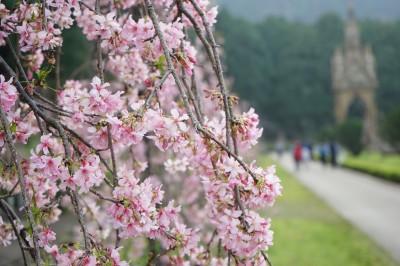 九族櫻花祭 春節過後美麗登場
