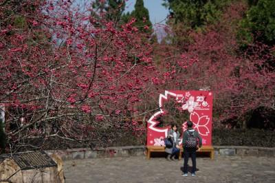 九族櫻花祭美麗登場  與櫻花美人浪漫約會