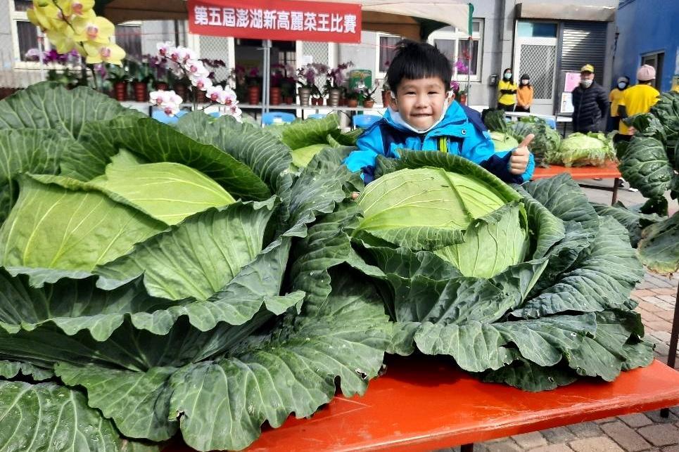 巨無霸「高麗菜王」是他!澎湖烏崁種高麗菜一顆重達20台斤