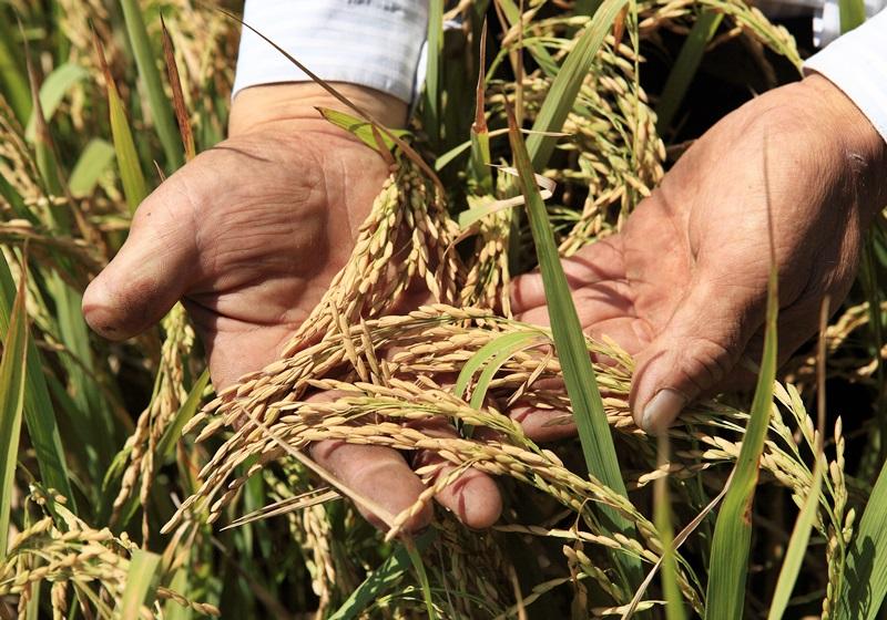 台灣稻米品種