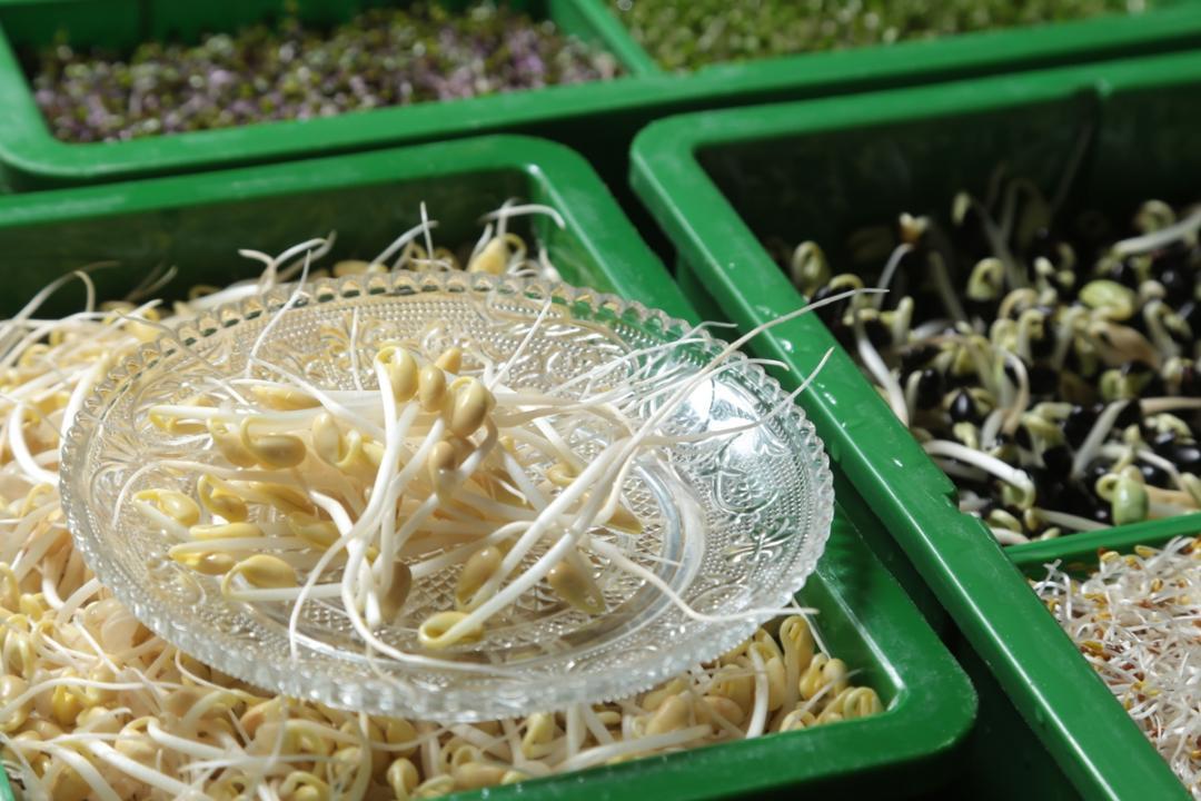 黃豆芽、綠豆芽、苜蓿苗...好吃芽菜自己在家種!超省錢又安心!
