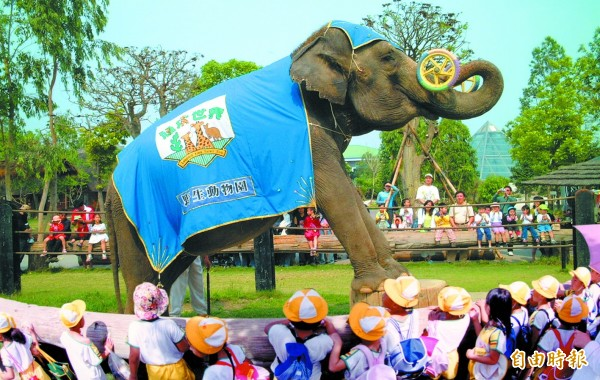 台南學甲頑皮世界野生動物園中的明星大象「愛麗美」表演秀,明年4月就看不到了。(記者楊金城攝)