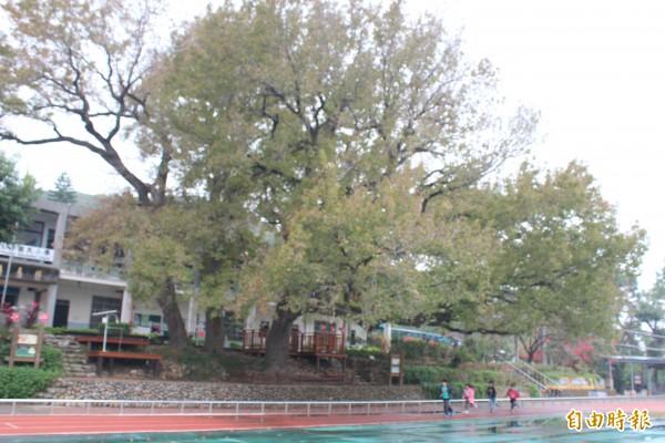 新竹縣文山國小的3棵楓香樹獲選為全國最美校樹。(記者黃美珠攝)